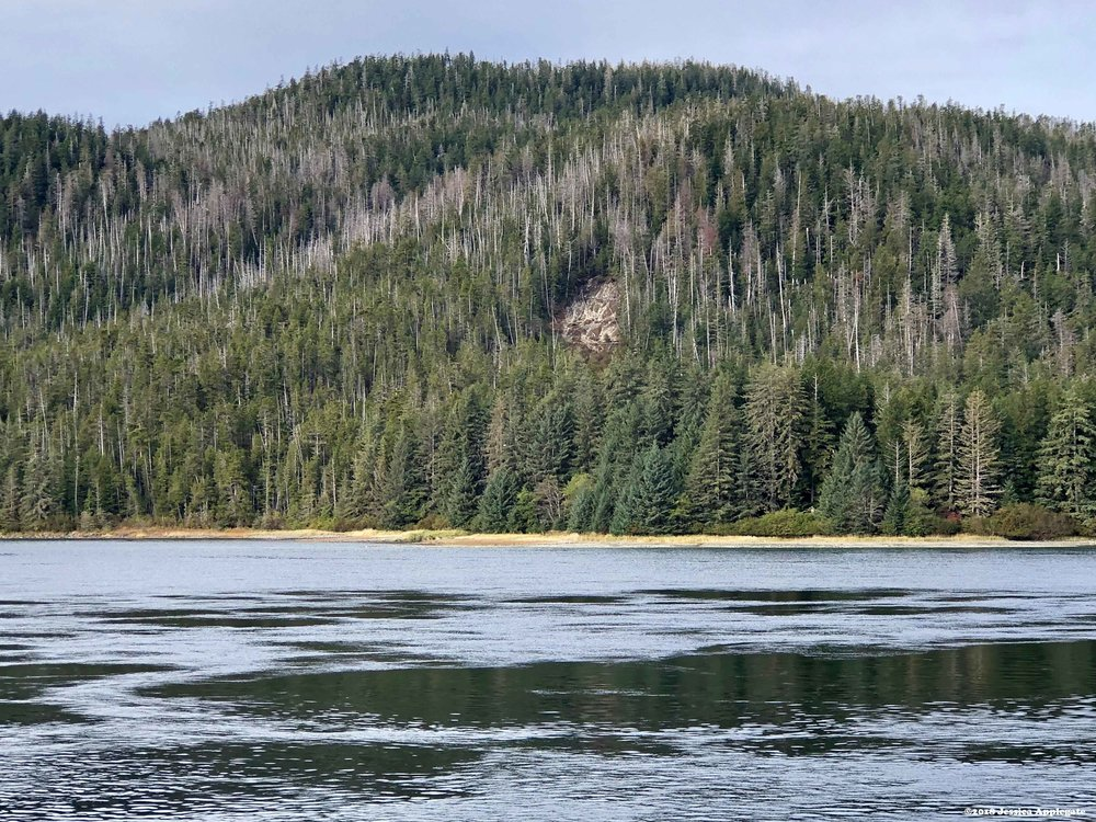 Large swaths of dead Alaska yellow cedar line the hillside on Chicagof Island in the Tongass National Forest.