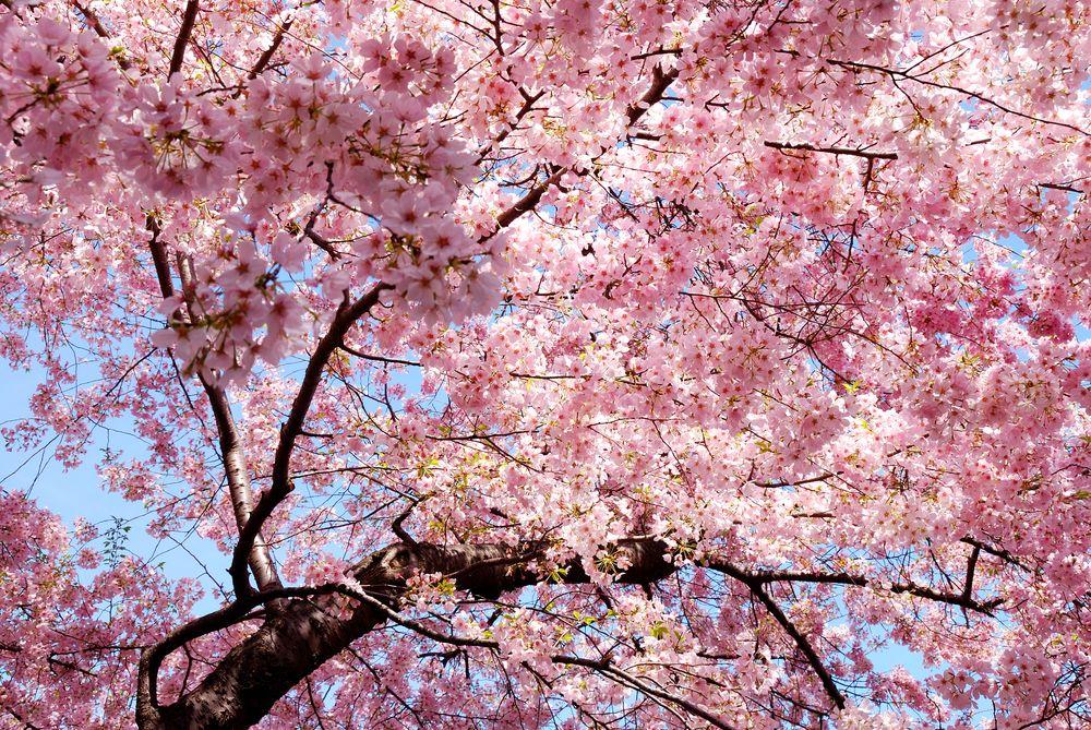 cherryblossom-shutterstock-626276891.jpg