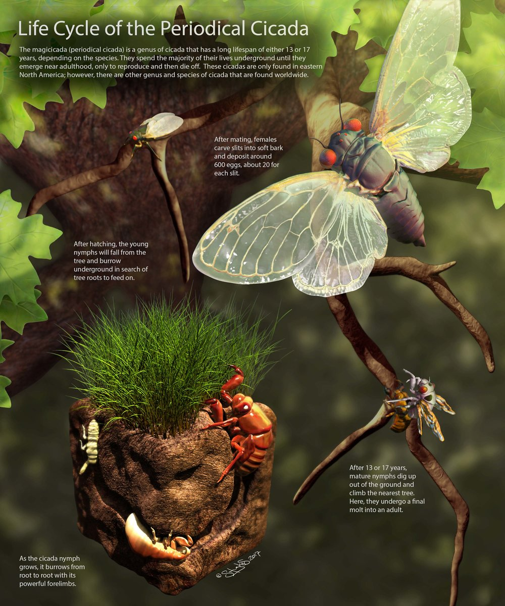 Life Cycle of the Periodical Cicada