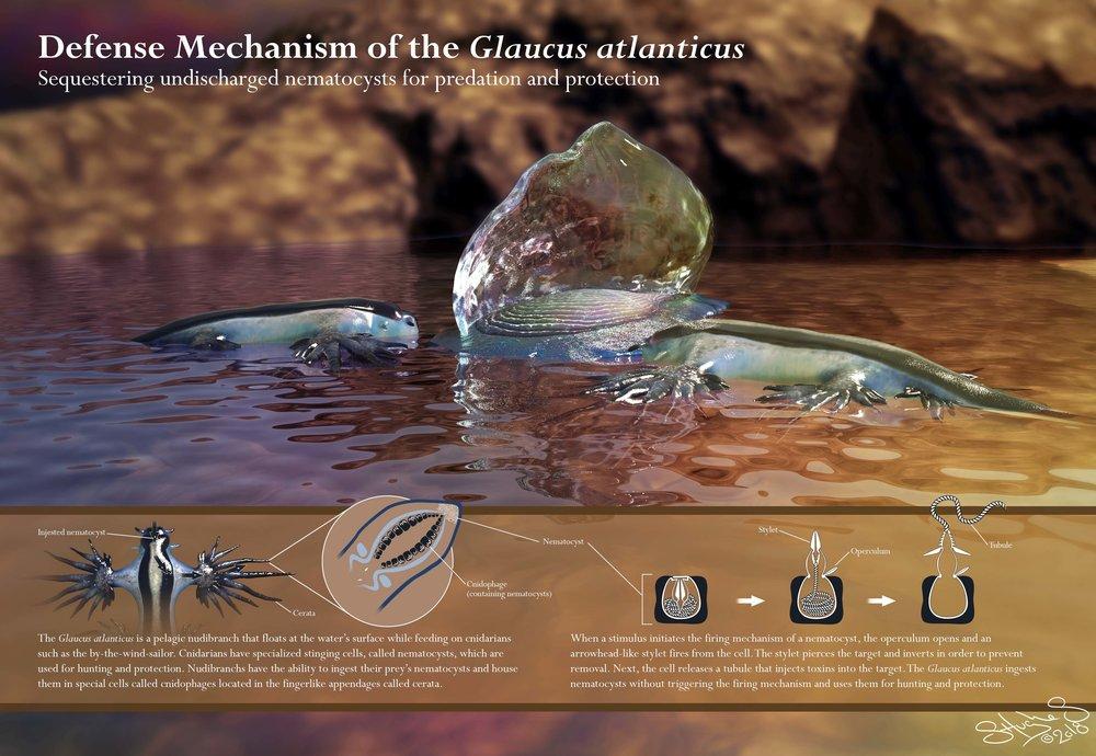 Defense Mechanism of the  Glaucus atlanticus