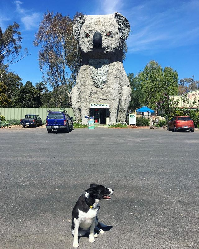 An oldie but a goodie! Maggie the dog recently had a visit to The Giant Koala in Dadswells Bridge. Haven't seen it? Get it touch with us now to organise your next group tour!⠀ ⠀ @australianroadjourneys #australia #travelaustralia #tourism #outbacktours #travel #maggie #dogsofinstagram #travelwithdogs #dogs #bordercollie #thegiantkoala #dadswellsbridge #australianclassic