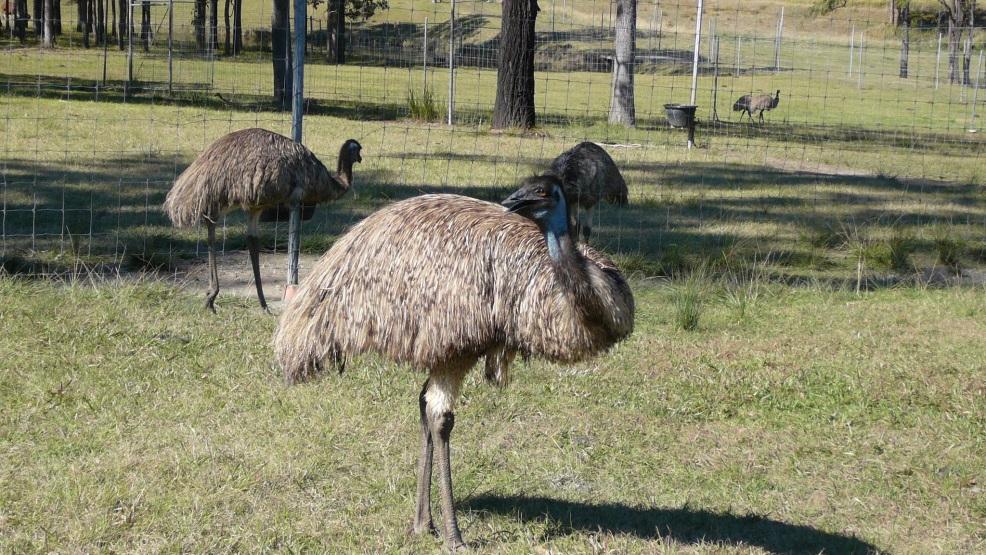 Glen Ian Ostrich and Emu Farm, Tullymorgan, New South Wales