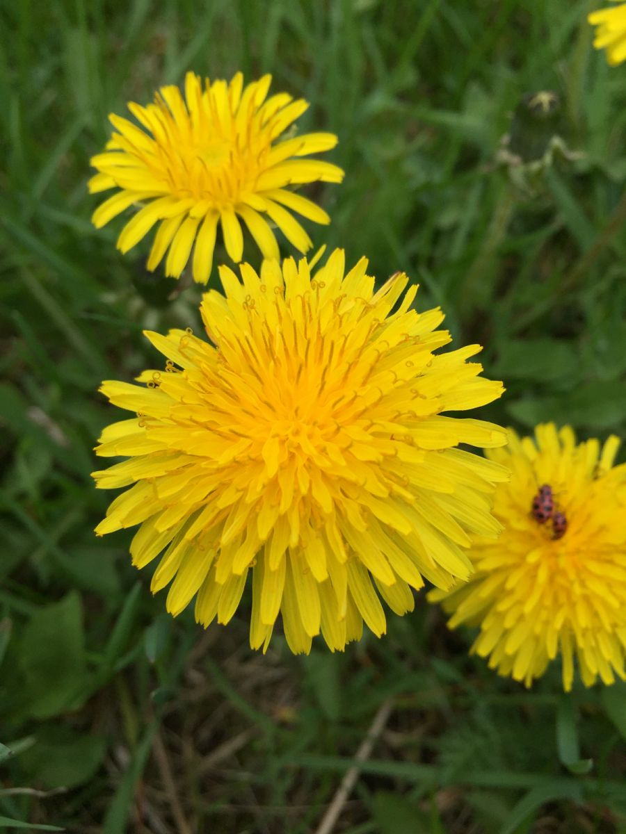 high res dandelion.jpg