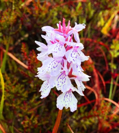 bog orchid.jpg