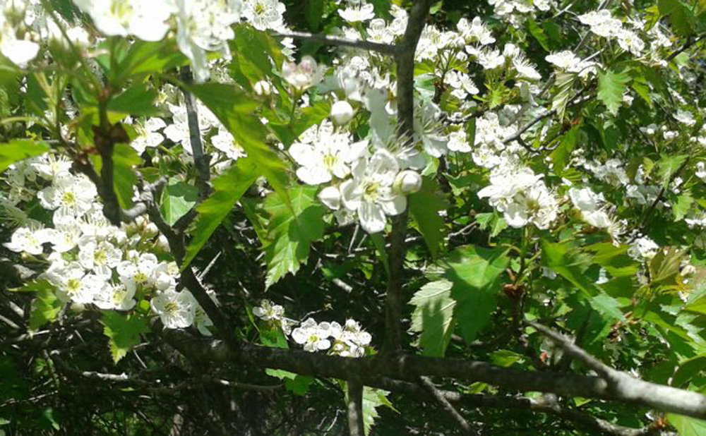 hawthorne in flower.jpg