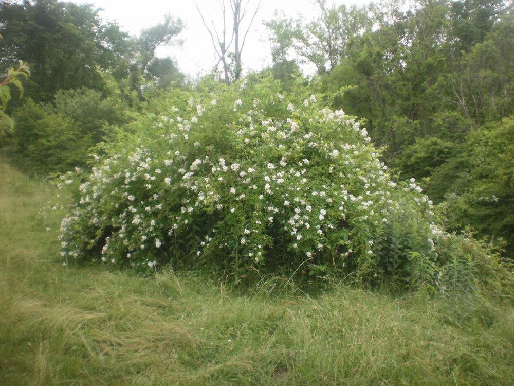 multiflora rose bush.jpg