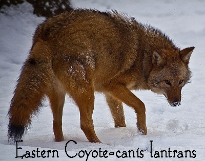 800px-Coyote-face-snow_-_Virginia_-_ForestWander.jpg