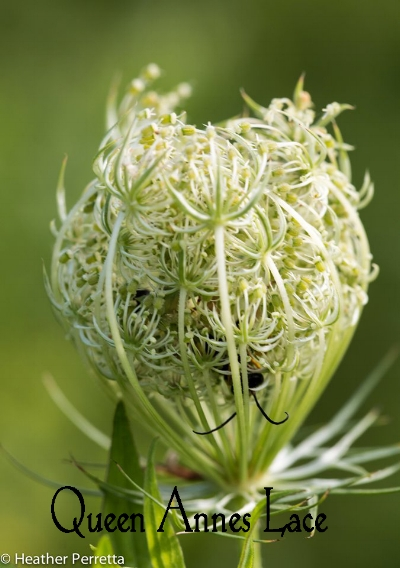 queen annes lace.jpg