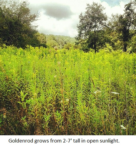 field of goldenrod(2).jpg