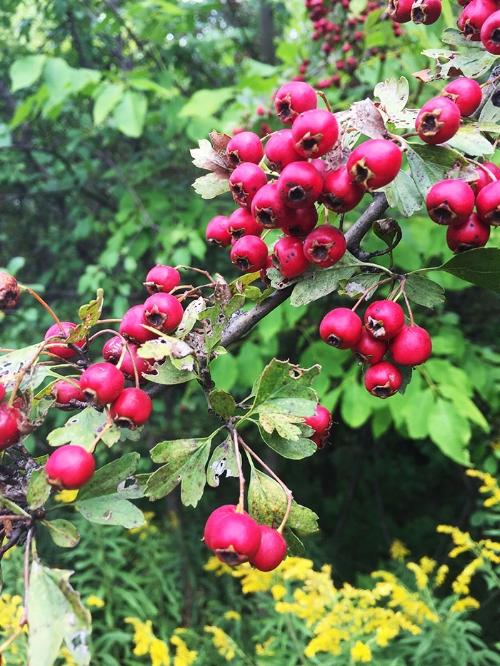 hberries.jpg