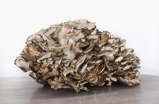 """We just got several magnificent Maitake brought to us by local fungi forager @actaea_alchemiae ! Fun fact! Grifola frondosa is also called Hen of the Woods or Sheep's Head, but the name """"Maitake"""" means """"dancing mushroom"""" & we definitely did a little joyful dance when we got our first glance of this massive Hen haul.  Come to our Public Market stand Saturday for local & organic food, made, grown, (and foraged!) by local folks. . . #maitake #mycology #ediblemushrooms #localfood #foragedfood #henofthewoods #sheepshead #grifolafrondosa #🍄 #rochesterny #rochestereats #rochesterpublicmarket"""