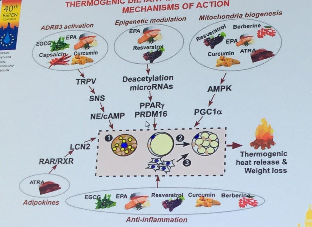 термогенеза чрез храна - фитохимикали, задействащи кафявата мастна тъкан; конгрес на ESPEN 2018