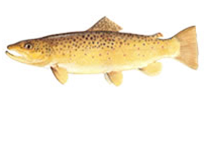Fish-tiles-BROWNTROUT.jpg