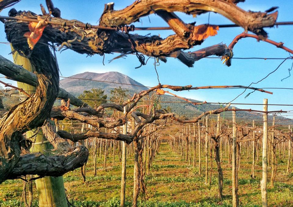 Vineyards in the Vesuvio DOC area with a view of the live volcano Mount Vesuvius.