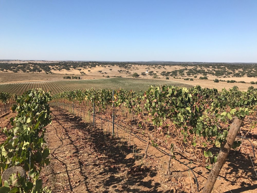 Sun scorched vineyards, probably under a touch of stress @ Herdade do Freixo