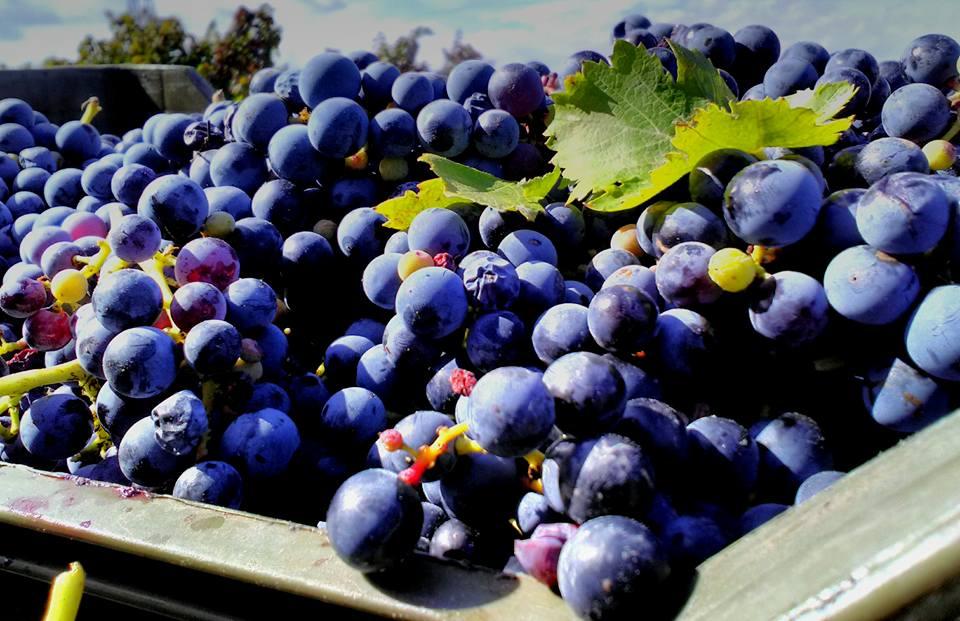 Vigne-Mastrodomenico-Aglianico-del-Vulture-grapes-2016.jpg