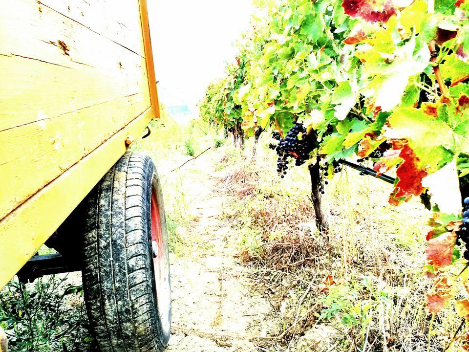 Vigne-Mastrodomenico-Aglianico-1.jpg