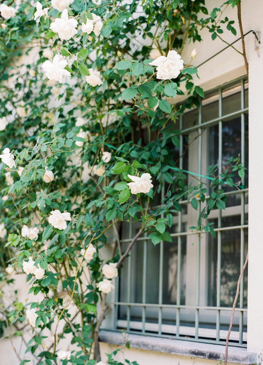 climbing rose.jpg