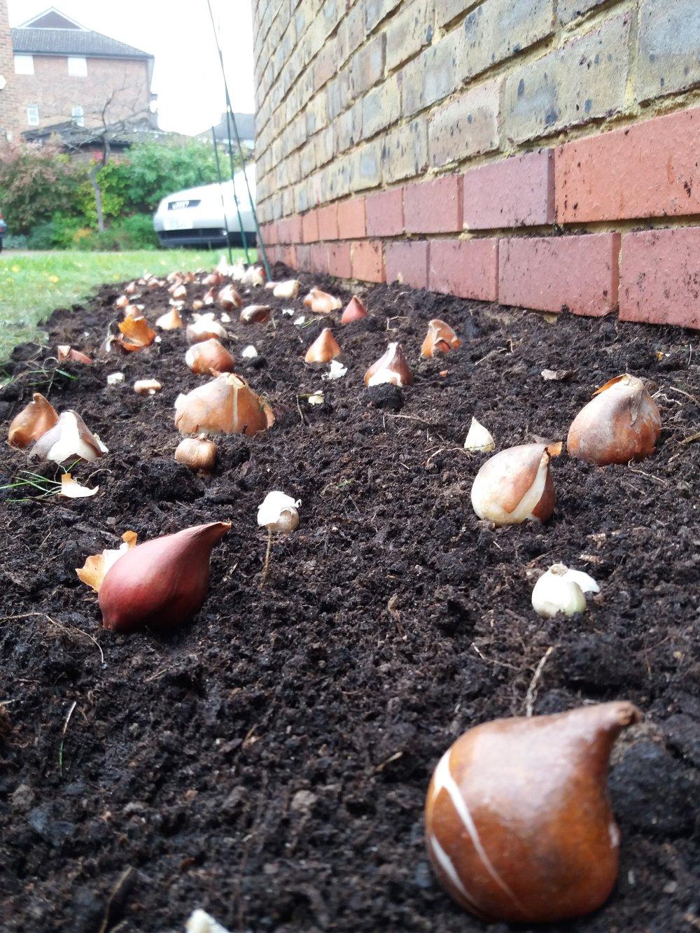 Bulb planting, October 2017