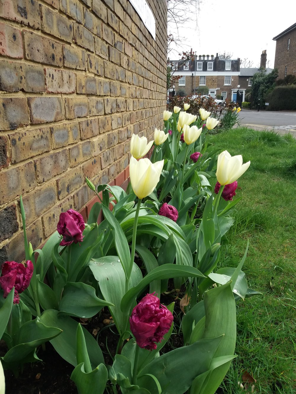 April 2018, Tulip bulbs planted in October in flower