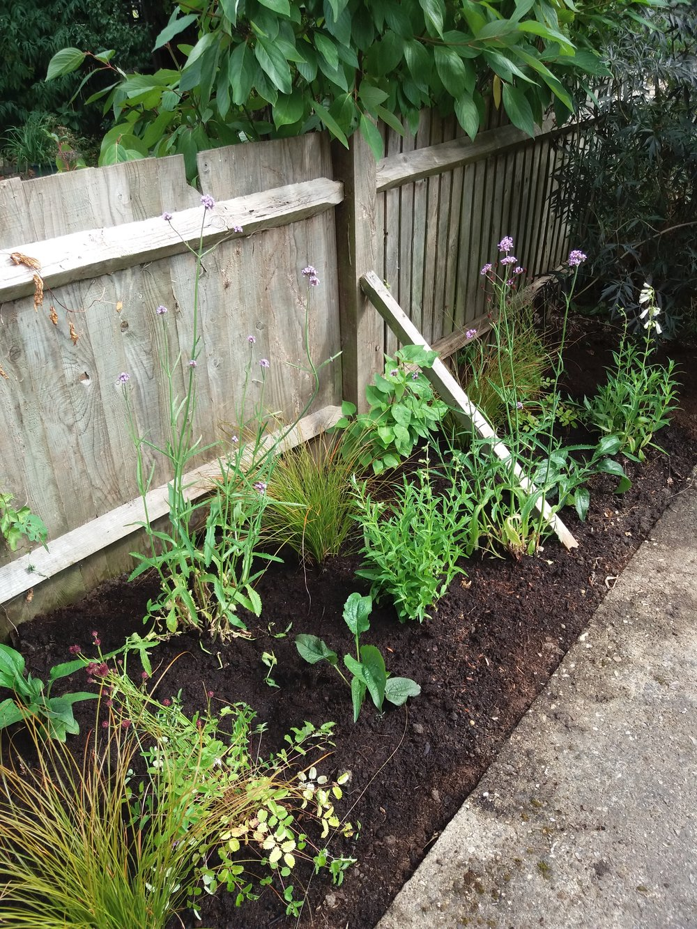 Planting up  a garden in a cottage garden style using Verbena, Echianacea, Penstemon and many more plants, July 2018