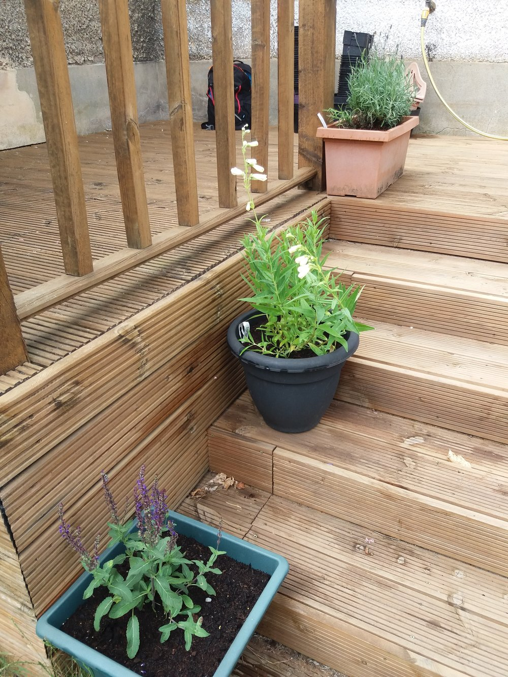 Pots for the cottage garden - Salvia, Penstemon and Lavender
