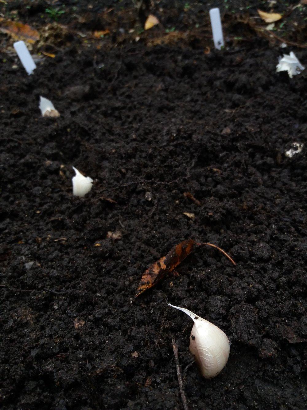 Garlic bulb planting, November 2018