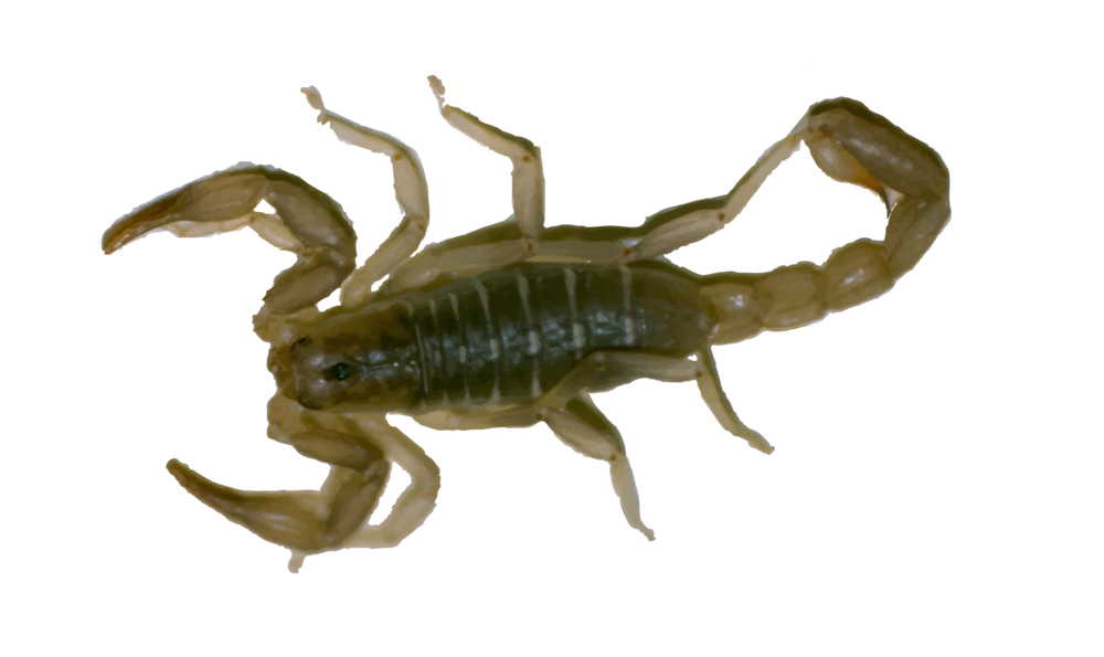 Scorpions - In houses, scorpions are usually found in undisturbed areas, such as closets, shoes and folded clothing. Crevices in woodwork and closets, spaces around plumbing, doorways and windows are common hiding places.