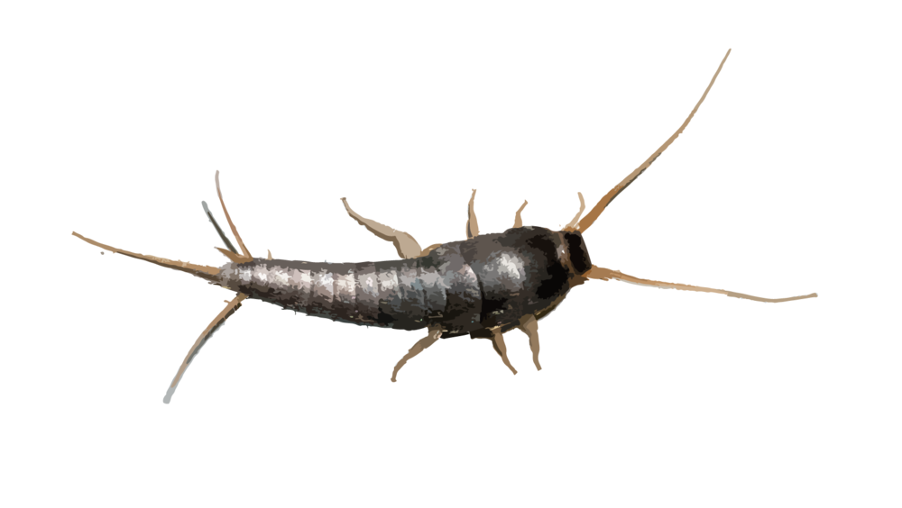 """Silver Fish - The adult body length of a silverfish is 1/2″ excluding the tail. Its coloration ranges from gray to almost black, with a metallic sheen. All silverfish taper from head to tail. They are covered with silvery scales and have a flat, carrot-shaped body. Three long, slender antennae-like appendages project from the end of the abdomen, giving them the name """"bristle tails.""""Silver fish like humid, moist areas and are most commonly found in bathrooms and closets. Although, because they feed off a variety of things such as glue, paper items, clothing or high protein foods, silver fish can also be found in many other areas of a home. They prove no big threat to humans, but are mostly an annoyance. Being nocturnal, home owners can't always see/know the extent of the infestation till they start noticing damage on their paper goods or other materials around them home.To help prevent silver fish infestations in the home,we customize our service to you by not only treating baseboards, bathrooms, closets, etc. but by also looking for prime feeding areas in your home that would be of concern such as bookcases or libraries and giving extra thought and attention to these areas."""