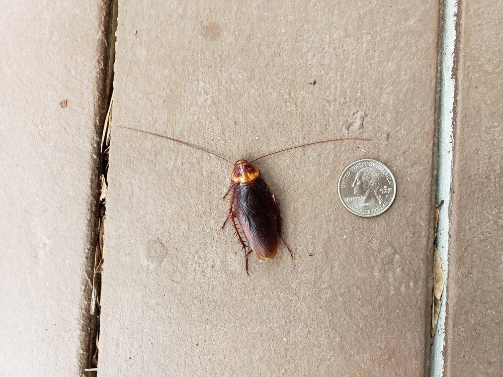 American roach -