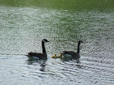 geese2012blog