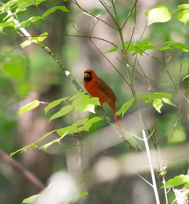 cardinal-in-treeblog2015.jpg