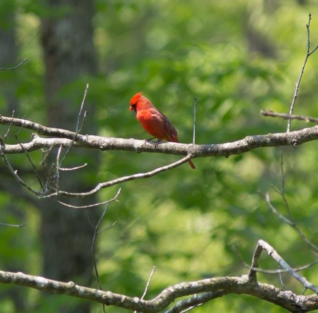 cardinal1blog2015.jpg