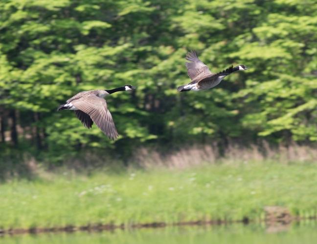 monastery-geese-3blog-2015.jpg