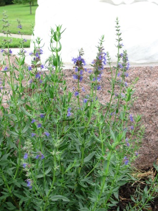 Hyssop plant in bloom