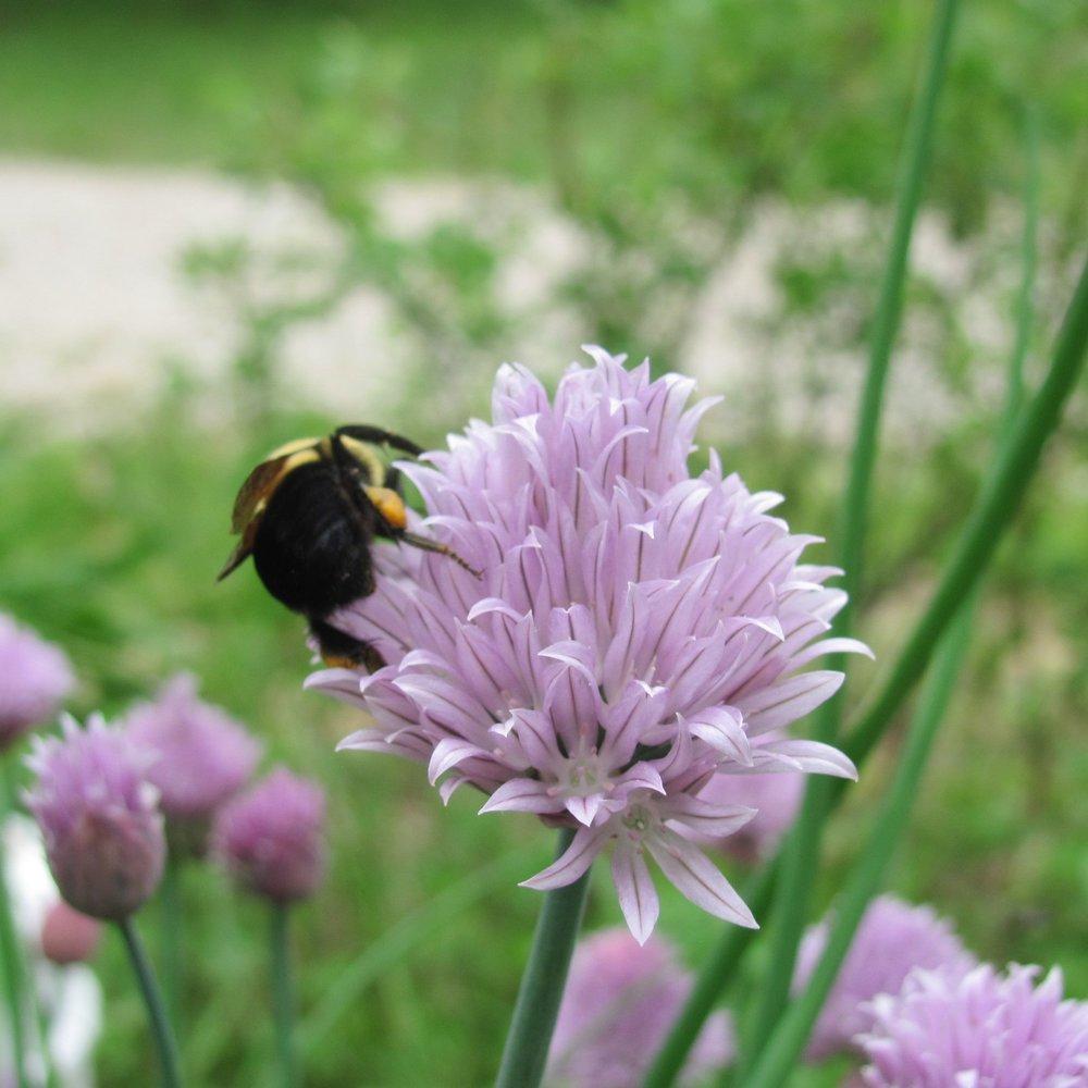 bumblebeechives.JPG