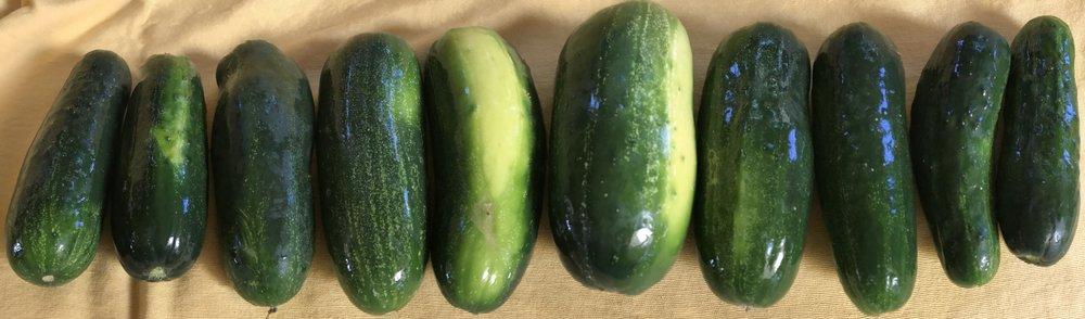 CucumbersinaRow.jpg