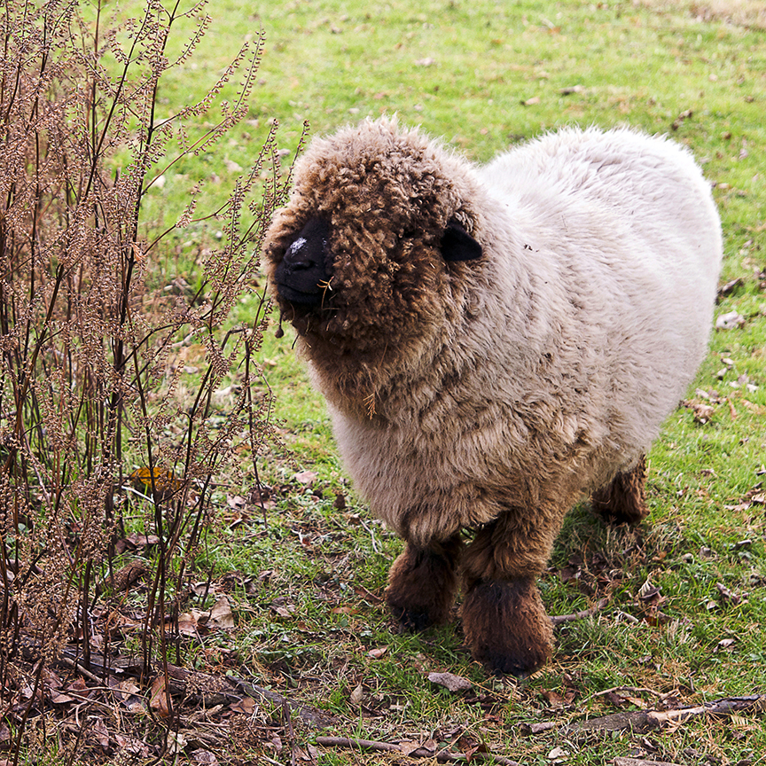 "One of our sheep, ""Sheepy""."
