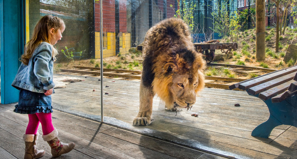 The-AirGlaz-glass-used-in-the-Land-of-the-Lions-enclosure-combines-amazing-clarity-anti-reflection-properties-and-strength-image-courtesy-of-Romag..jpg