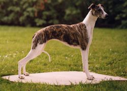 WW & SBIS Am. & Mex. Ch. Bohem Age of Innocence , b. 1996  By Ch. Starline's Reign On x Ch. Bohem Of Thee I Sing  Bred by Bohem  Owned by Diva Whippets