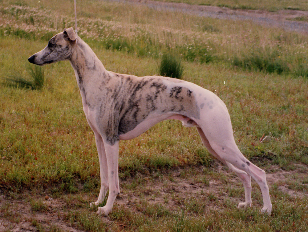 SBIS Int. Ch. Bohem Flight Time - (exp. Finland), b. 1992By Ch. Chelsea Drakkar of Oxford x Ch. Bohem Delacreme DemoiselleBred by John Richardson & BohemOwned by Seija Heinonen, FinlandExported as a puppy to a first-time Whippet owner in Finland,