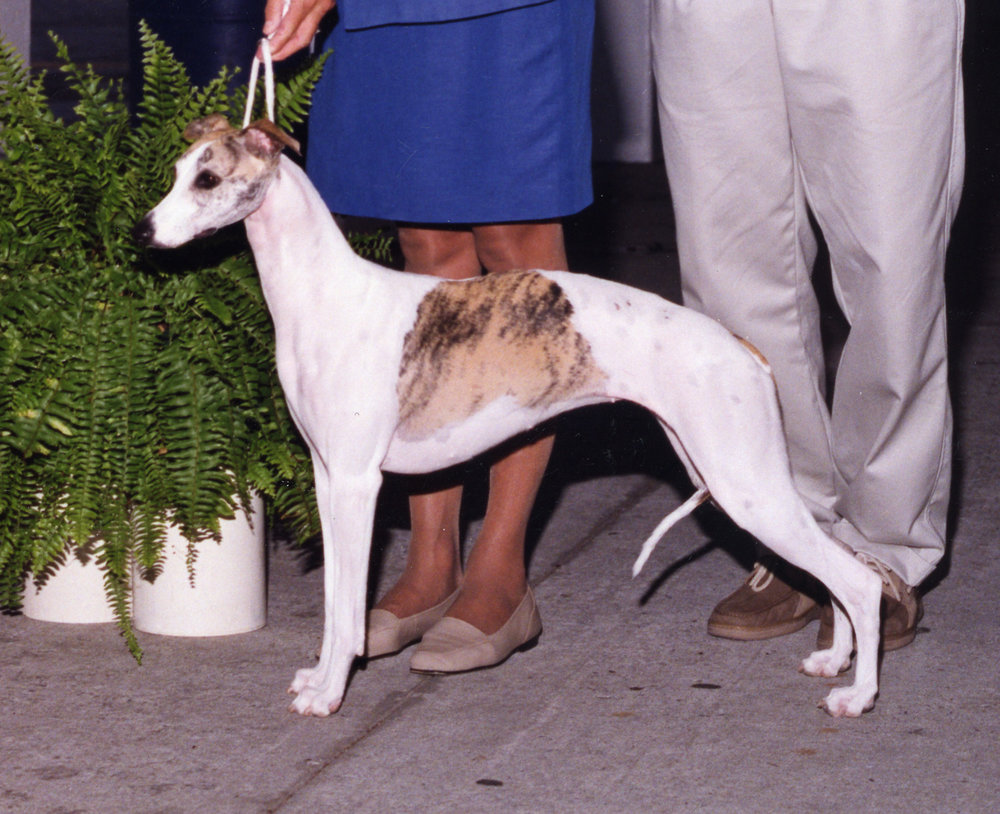 SBIS Ch. Bohem Belle Du Jour   Multiple Specialty BIS winner, b. 2002 by Ch. Chelsea Long Kiss Goodnight x Ch. Bohem All About Eve. Owned by Charles W. Carroll, shown by Barbara Wayne.
