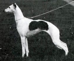 BIS Int. Ch. Bohem Callas of Whippoorwill - b. 1986, by Ch. Proud Fox of Whippoorwill x Ch. Whippoorwill Bohem AriaOwner Nenne Runsten, Airescot Whippets, Sweden