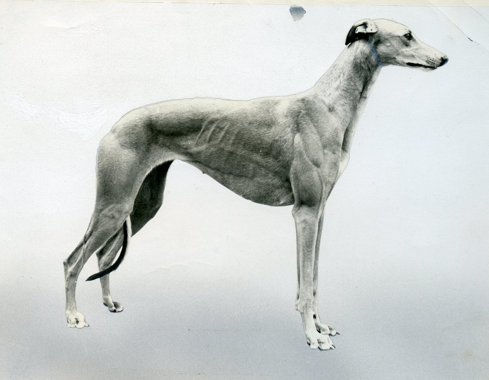 Int. Ch. Guld , b. 1966, dam of more than 20 champions. One of the world's most influential brood bitches. Owned by Ann Gustafsson, Gulds Greyhounds, Sweden. Bred by Göran Bodegård & Bo Bengtson.