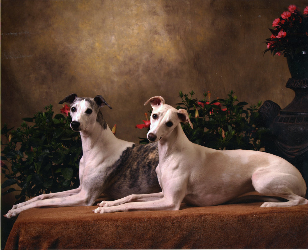 """Justin"" pictured in 2009 with his daughter GCh. Charlamar Sashays In White Linen, ""Izzy.""    Ch. Bohem Just In Time, ROM, CR , b. 2000 by Int. Ch. Bohem Flight Time x Ch. Bohem All About Eve. Owned by Nancy Doucette of the Redcliffe Whippets, her first one. Justin was owner-handled to his title, to an Award of Merit at the AWC Eastern specialty and Select at the AWC National specialty, both in 2011 at the age of 10 & 1/2 years of age. As a stud dog, Justin started late, siring his first litter at 6 & 1/2 years, but demonstrated unusual prepotency and sired well over 20 champions, several BIS and SBIS winners (including BOB at the AWC National Specialty 2016), and many lure coursing titled offspring as well. Justin died in 2014 but will hopefully sire a few more puppies from frozen semen."