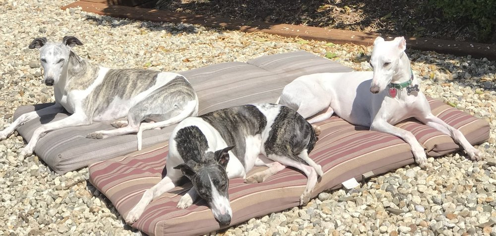 The Whippets of Bohem ... - —  soaking in the Southern California sunshine!