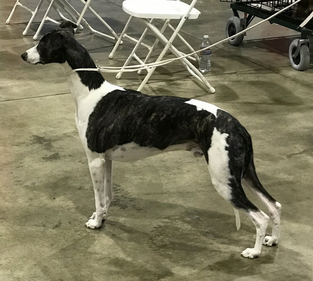 UK & Am. Ch. Palmik Strike It Right, JW  (Lewis), b. 2014, by UK Ch. Cobyco Change Places x Palmik Magic Trick, JW (by UK, Irish & Aust. Ch. Collooney Move On Over x UK Ch. Palmik Magical Whispers, JW)  Bred by Michael Howgate & Yvonne Hull, UK  Owned by Bohem