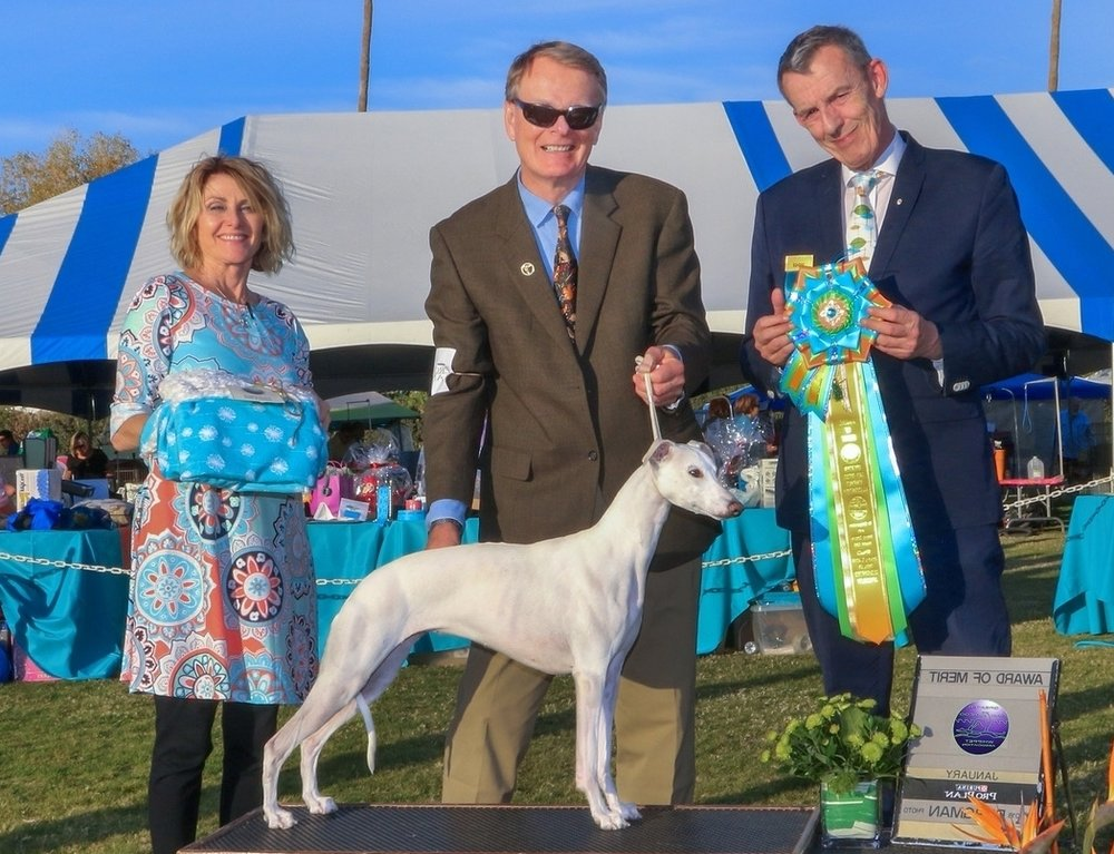 GCh. Snow Hill Beyond Blonde at Bohem  (Kylie), b. 2015 by Dual Ch. Snow Hill Copperline, MC, LCM x GCh. Snow Hill Soulful Mind  Kylie descends from old Bohem blood fairly far back on both sides of her pedigree, but most of her ancestry represents the work of her breeder Dr. Susanne Hughes. Kylie won specialty BOW as a youngster, BOB during a specialty weekend and two Speclalty Selects as a two-year-old although seldom shown. We have great hopes for her Bohem litter in 2018.  Bred by Susanne Hughes, DVM  Owned by Scott Mazer & Bo Bengtson