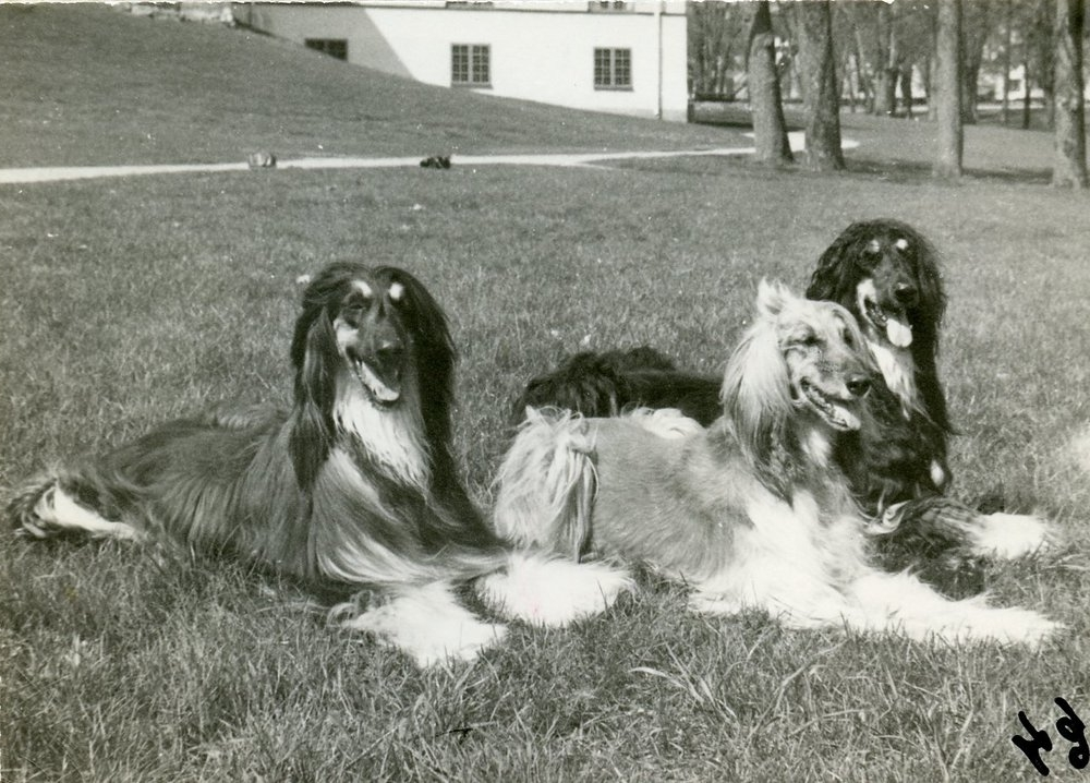The first champion, Afghan Hound  Ch. Ariadne el Khandahar , b. 1959, flanked by her sons  Ch. Bohem Waalph  (left) and  Int. Ch. Bohem Python , both b. 1965 in Sweden.