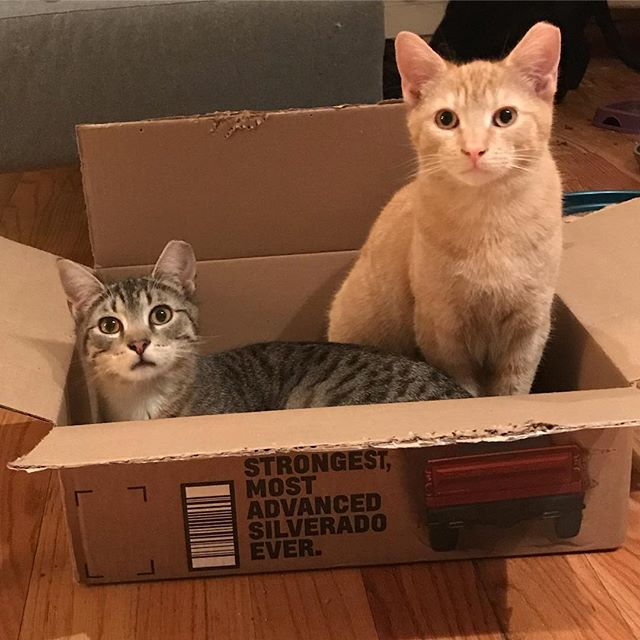 Bunch & Punch are packaged and ready for delivery. 7 month old brothers rescued in Crown Heights, Brooklyn. Playful and sweet. #adoptdontshop #rescuecat #tnr